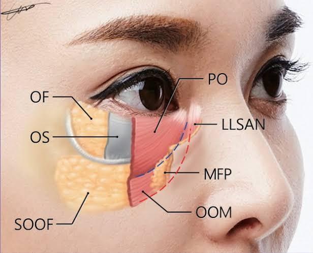 anatomy ใต้ตา